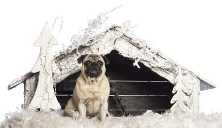 Pug sitting in front of Christmas nativity scene with Christmas tree and snow against white background photo