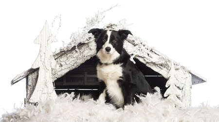 Border Collie sitting in front of Christmas nativity scene with Christmas tree and snow against white background photo