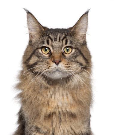 maine coon: Close-up der Maine Coon Katze, 7 Monate alt, vor der wei�en Hintergrund