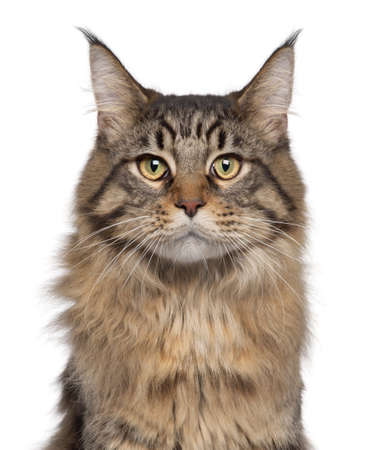 Close-up of Maine Coon cat, 7 months old, in front of white background photo