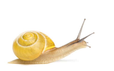 invertebrates: Grove snail or brown-lipped snail without dark bandings, Cepaea nemoralis, in front of white background Stock Photo