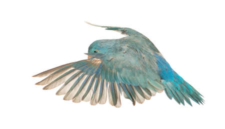 parrot flying: Pacific Parrotlet, Forpus coelestis, flying against white background