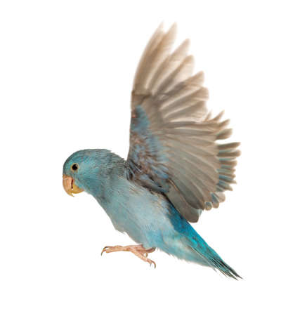 loro: Pacífico Parrotlet, Forpus coelestis, volando contra el fondo blanco