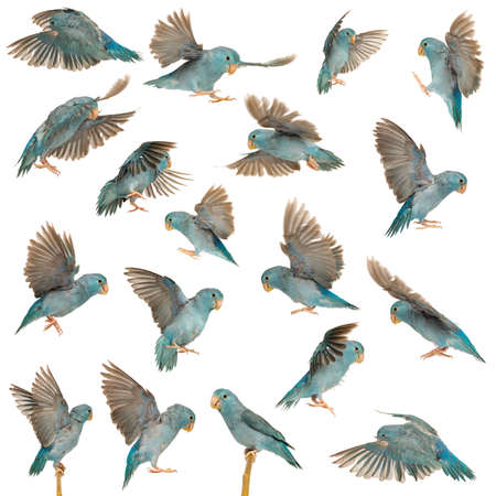 pajaros volando: Composici�n del Pac�fico Parrotlet, Forpus coelestis, volando contra el fondo blanco