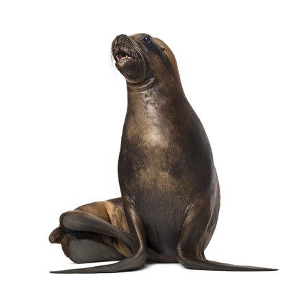 zeehonden: California Sea Lion, 17 jaar oud, op zoek up tegen witte achtergrond Stockfoto
