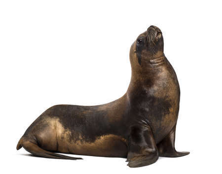 17: California Sea Lion, 17 years old, looking up against white background Stock Photo