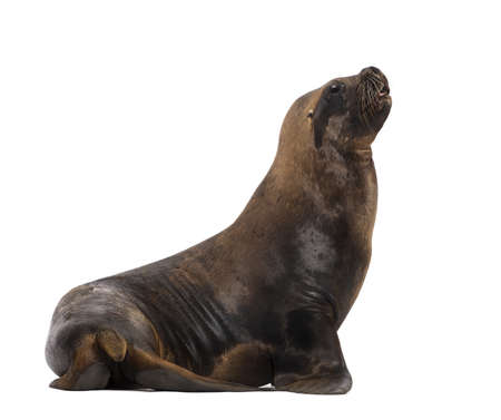 California Sea Lion, 17 years old, looking up against white background photo