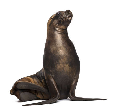 California Sea Lion, 17 years old, looking up against white background Stock Photo