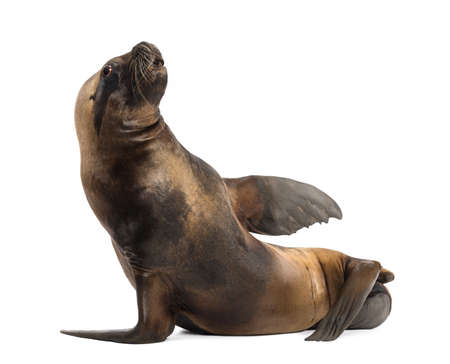 17: California Sea Lion, 17 years old, lying against white background