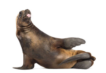 17 years: California Sea Lion, 17 years old, lying and sticking out its tongue against white background Stock Photo