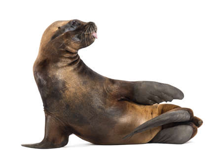 17 years: California Sea Lion, 17 years old, lying against white background