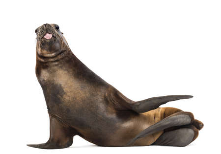 seal brown: California Sea Lion, 17 years old, lying and sticking out its tongue against white background Stock Photo