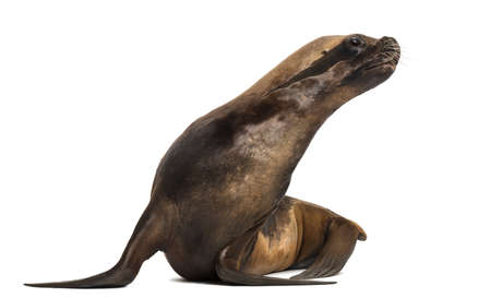 17: California Sea Lion, 17 years old, looking right against white background