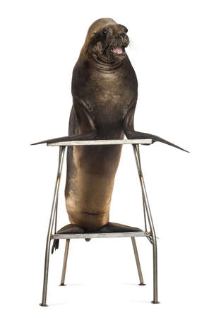 17 years: California Sea Lion, 17 years old, standing on stool against white background