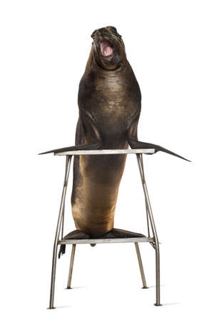 California Sea Lion standing on stool against white background photo