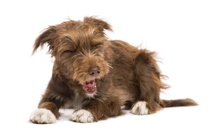 Crossbreed lying and yawning, disgusted against white background Stock Photo - 18178396