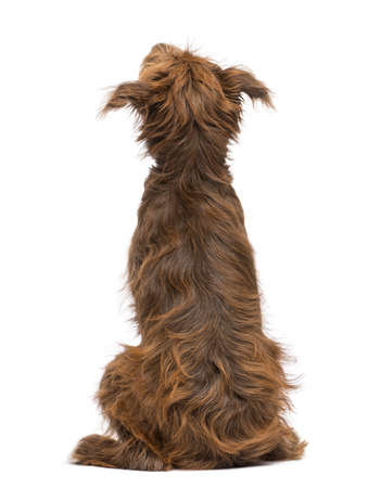 sit up: Rear view of a Crossbreed, 5 months old, sitting and looking up against white background