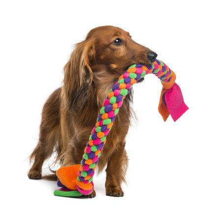 juguete: Dachshund, de 4 a�os, con un perro de juguete en su boca contra el fondo blanco Foto de archivo