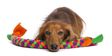 dog toy: Dachshund, 4 years old, lying on dog toy against white background