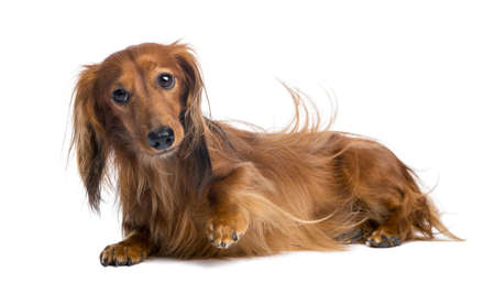 furry animals: Dachshund, de 4 a�os, mintiendo contra el fondo blanco Foto de archivo