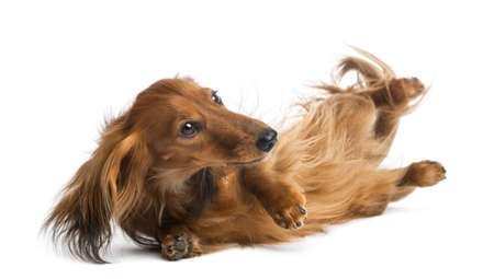 rolling: Dachshund rolling, 4 years old, rolling over against white background Stock Photo