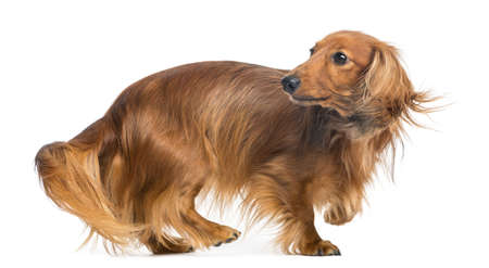 looking over shoulder: Dachshund, 4 years old, walking and looking back against white background