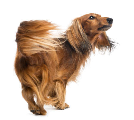 Rear view of a Dachshund, 4 years old, walking and looking up against white background photo