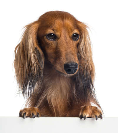 dachshund: Dachshund, 4 years old, leaning on a white plank and looking away against white background