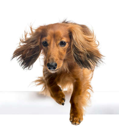 no movement: Dachshund, 4 years old, jumping over white tube against white background