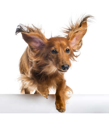 Dachshund, 4 years old, jumping over white tube against white background photo