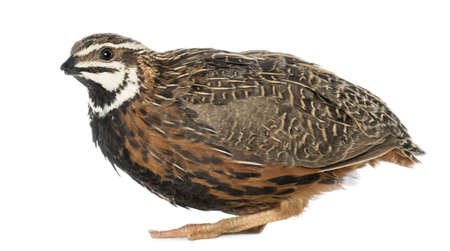 Female Harlequin Quail, Coturnix delegorguei, with its beak broken against white background