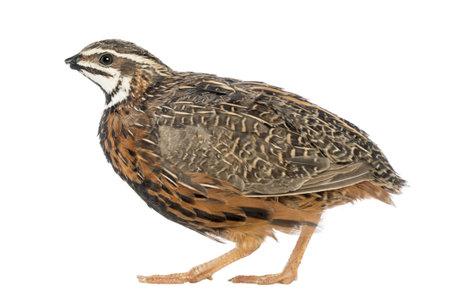 quail: Mujer Harlequin Codorniz, Coturnix delegorguei, con el pico roto sobre fondo blanco