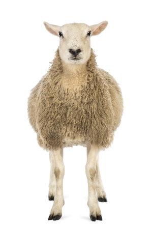 Frontansicht eines Sheep Blick in die Kamera vor weißem Hintergrund