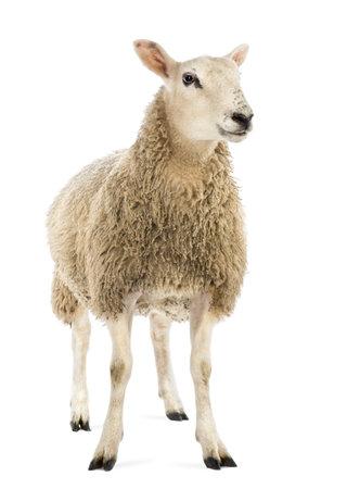 sheep farm: Sheep against white background
