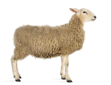 Vista laterale di una pecora su sfondo bianco