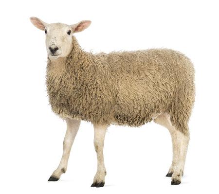 白い背景に対してカメラを見て羊の側面図