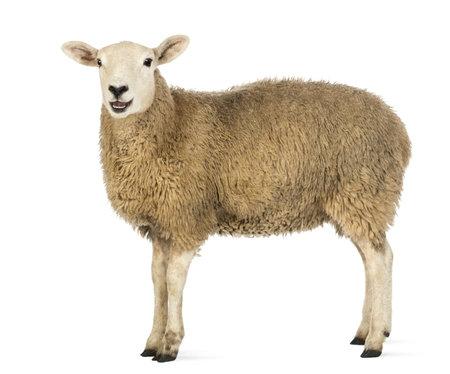 Vista laterale di una pecora vedendo fotocamera su sfondo bianco