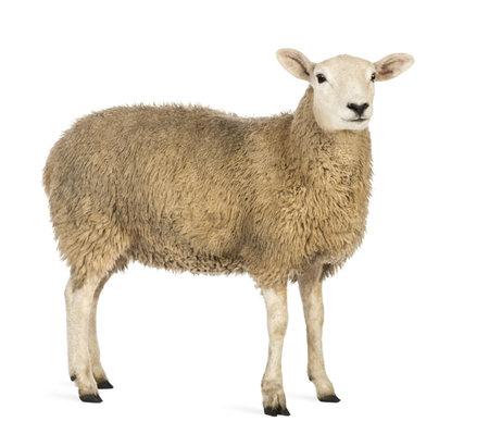 Vista laterale di una pecora in cerca di distanza su sfondo bianco