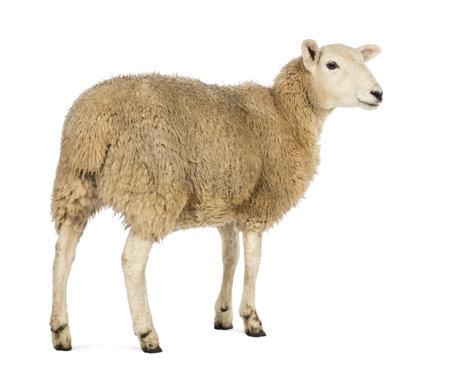 oveja: Vista trasera de una oveja mirando a otro lado contra el fondo blanco