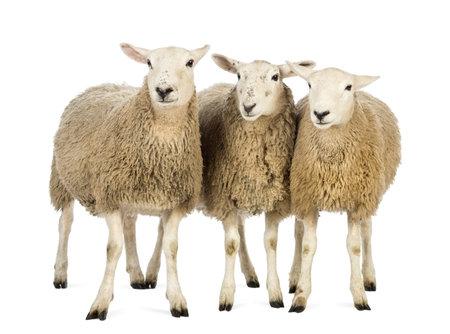 farm animals: Three Sheep against white background Stock Photo
