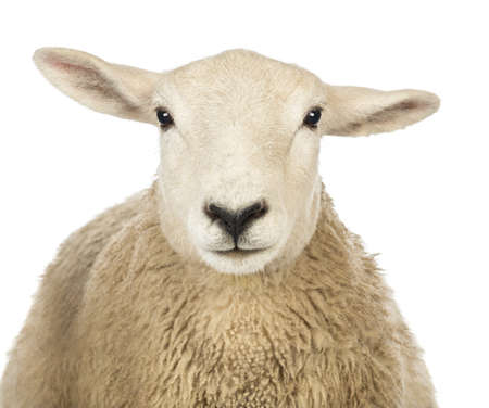 Close-up of a Sheeps head against white background Stock Photo