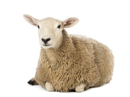 Sheep lying against white background Stock Photo