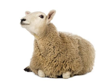 pecora: Pecora sdraiata e guardando contro sfondo bianco