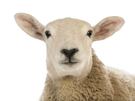 Close-up of a Sheeps head against white background photo