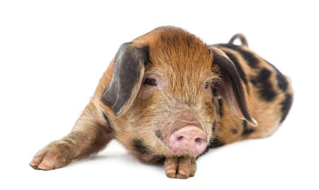 pig out: Oxford Sandy and Black piglet, 9 weeks old, lying against white background Stock Photo
