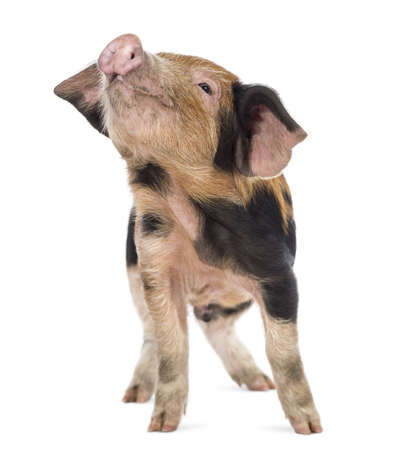 pig out: Oxford Sandy and Black piglet, 9 weeks old, looking up against white background Stock Photo