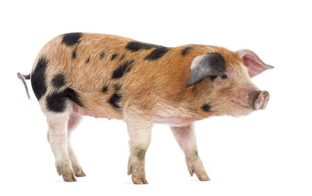 pig out: Oxford Sandy and Black piglet, 9 weeks old, looking away against white background Stock Photo