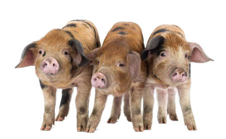 piglets: Front view of Three Oxford Sandy and Black piglets, 9 weeks old, against white background Stock Photo