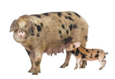 pig out: Oxford Sandy and Black piglet, 9 weeks old, suckling sow against white background