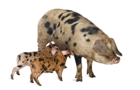 pig out: Oxford Sandy and Black piglets, 9 weeks old, suckling sow against white background